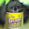El animal que huele a palomitas de maíz