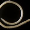Un espeluznante milpiés con 414 patas y cuatro penes
